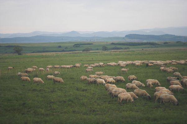 Schafe - Rumänien 0607