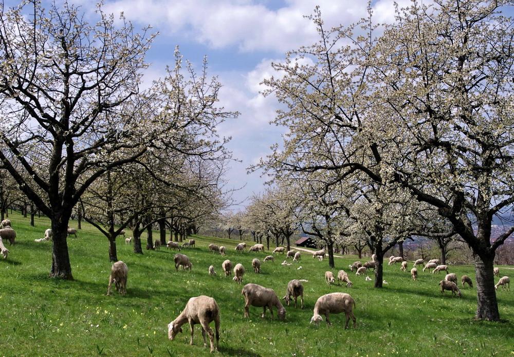 Schafe und Schäfle