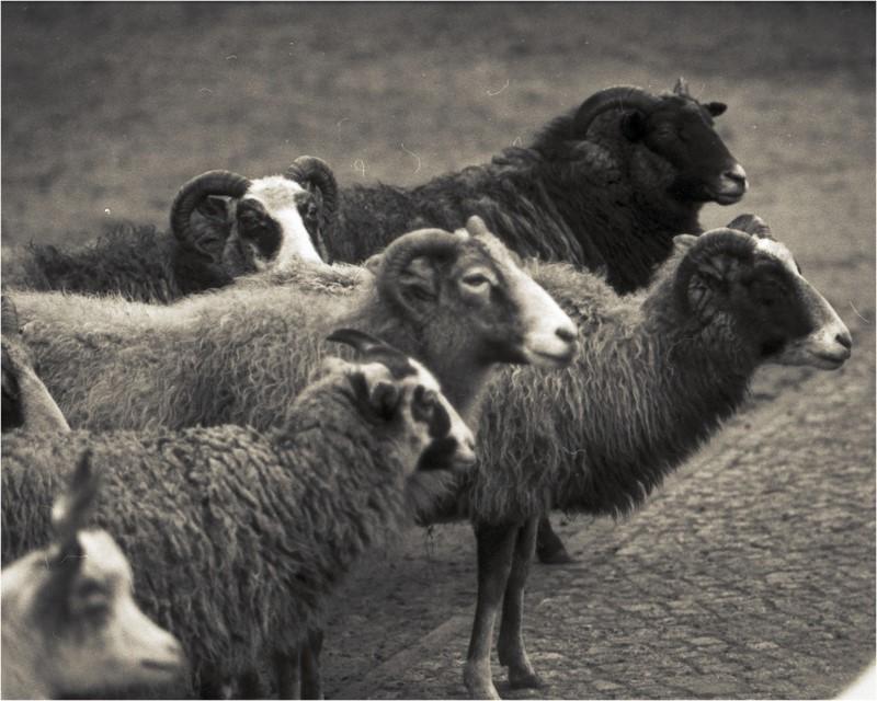 Schafe unscharf vorn, schärfer hinten