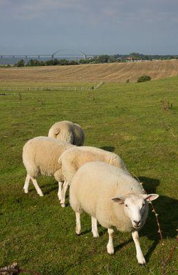 Schafe vor Fehmarnsundbrücke