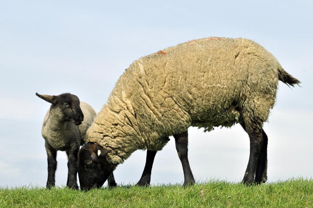 Schafe weiden intensiver als unsere Augen.