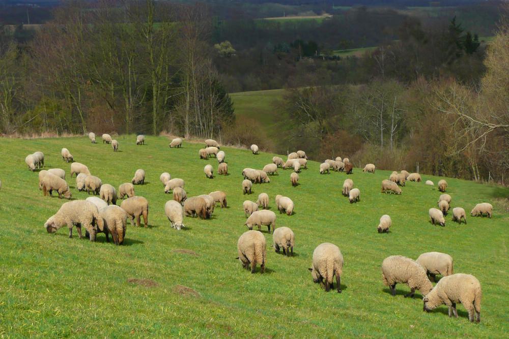 """""""Schafe zur Linken................."""