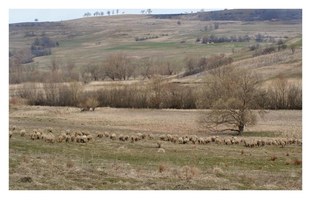 Schafe.in.Transylvanien