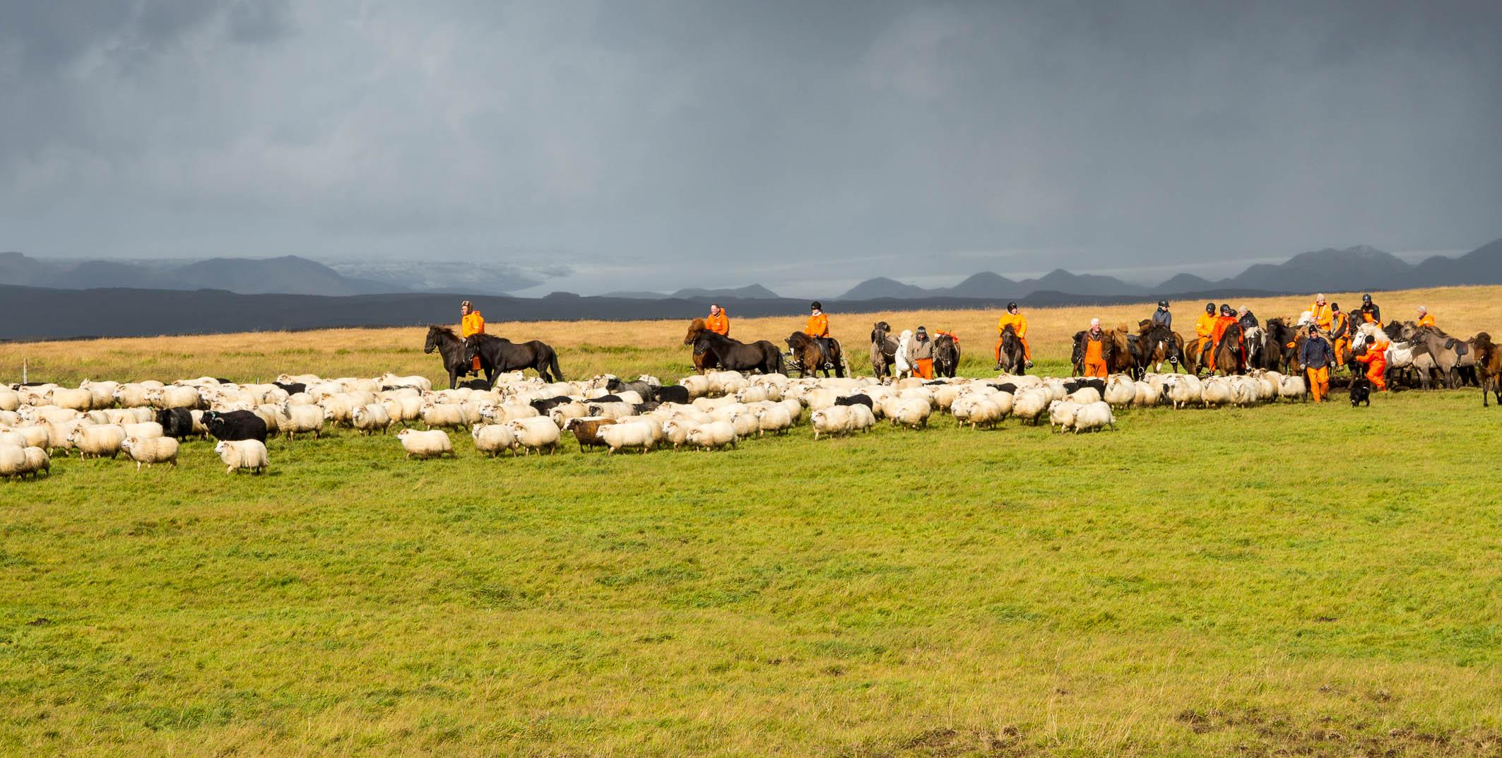 Schafeintreiben im Herbst