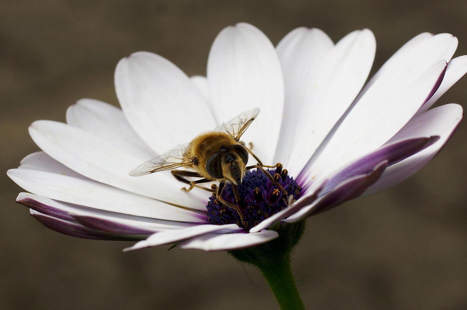 Schaffe, schaffe, auch den letzten Honig sammlen........