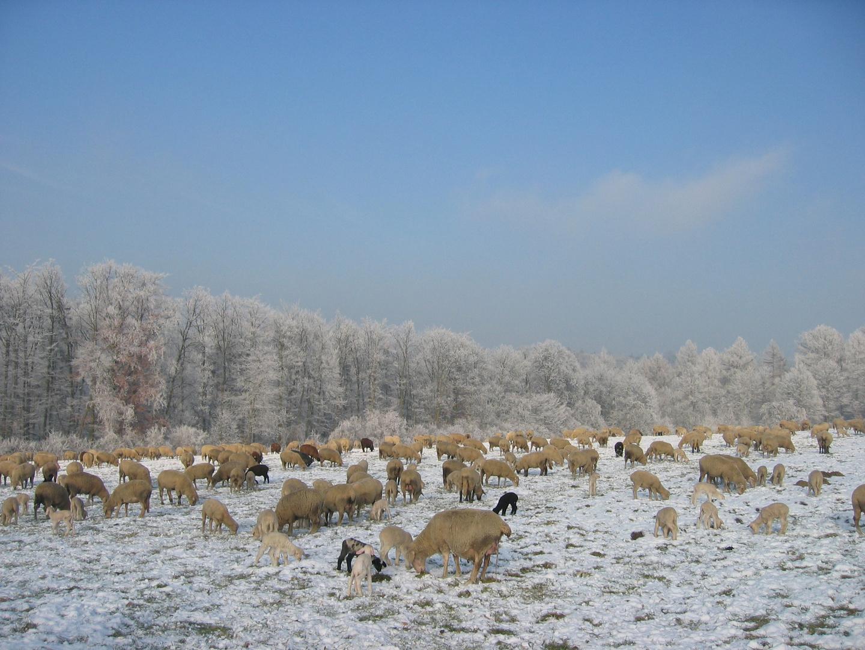 Schafherde auf der Winterweide