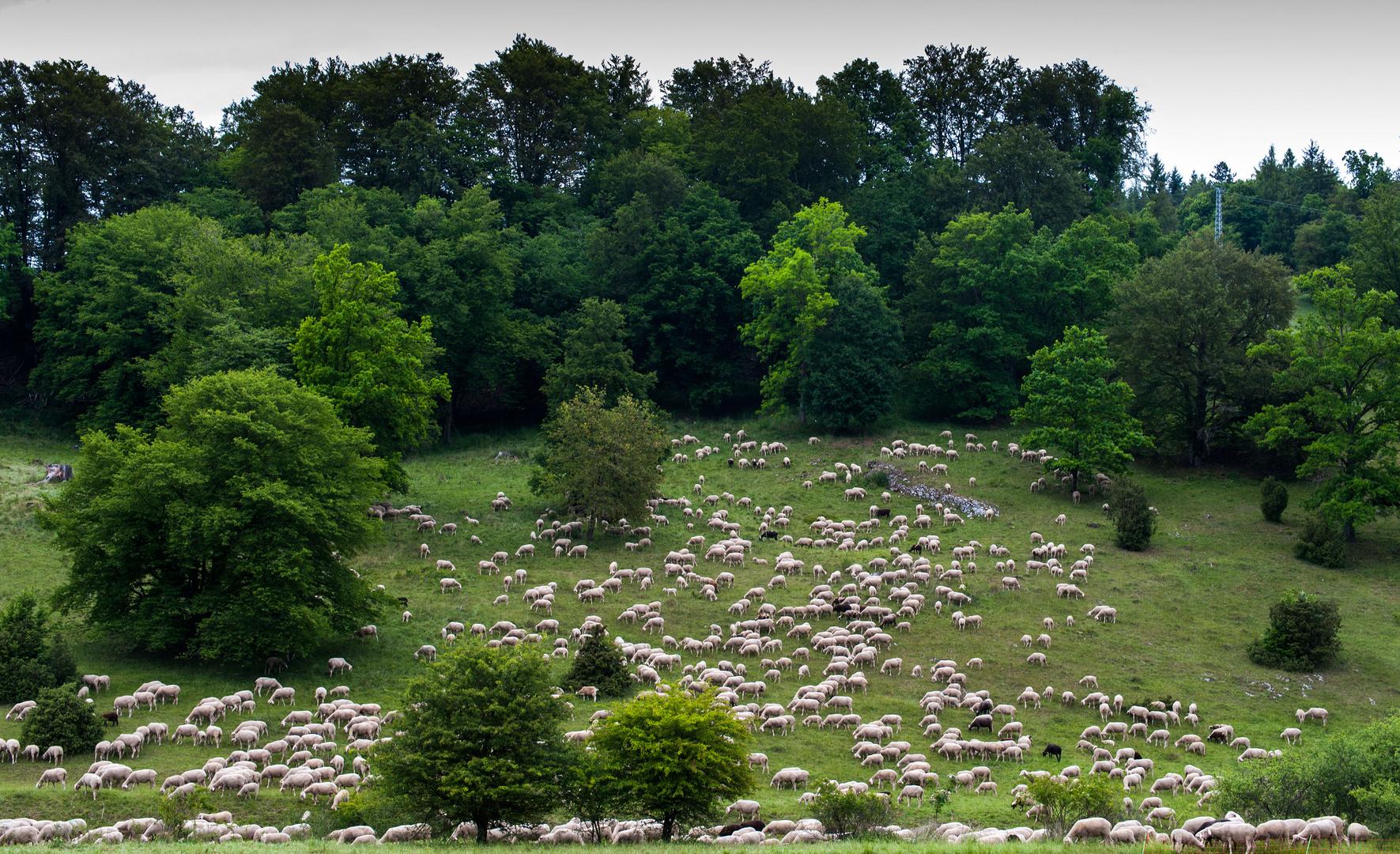Schafherde - die perfekten Landschaftspfleger