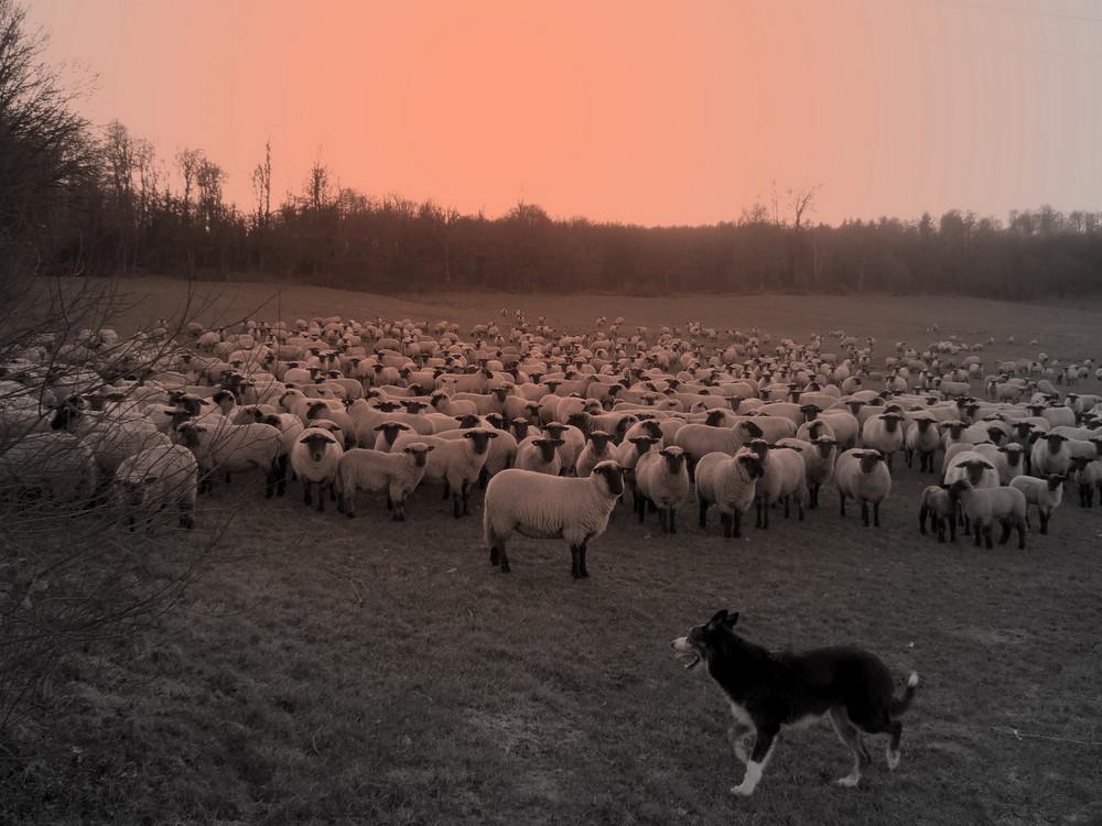 Schafherde im Februar