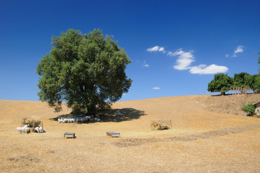 Schafherde in der Südlichen Toskana