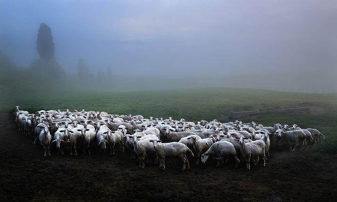 Schafherde in der Toskana
