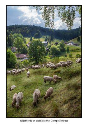 Schafherde in Enzklösterle-Gompelscheuer