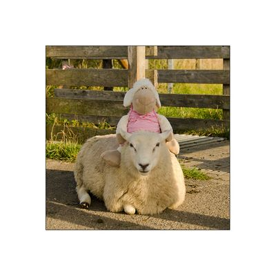 Schafine und das zahme Deichschaf
