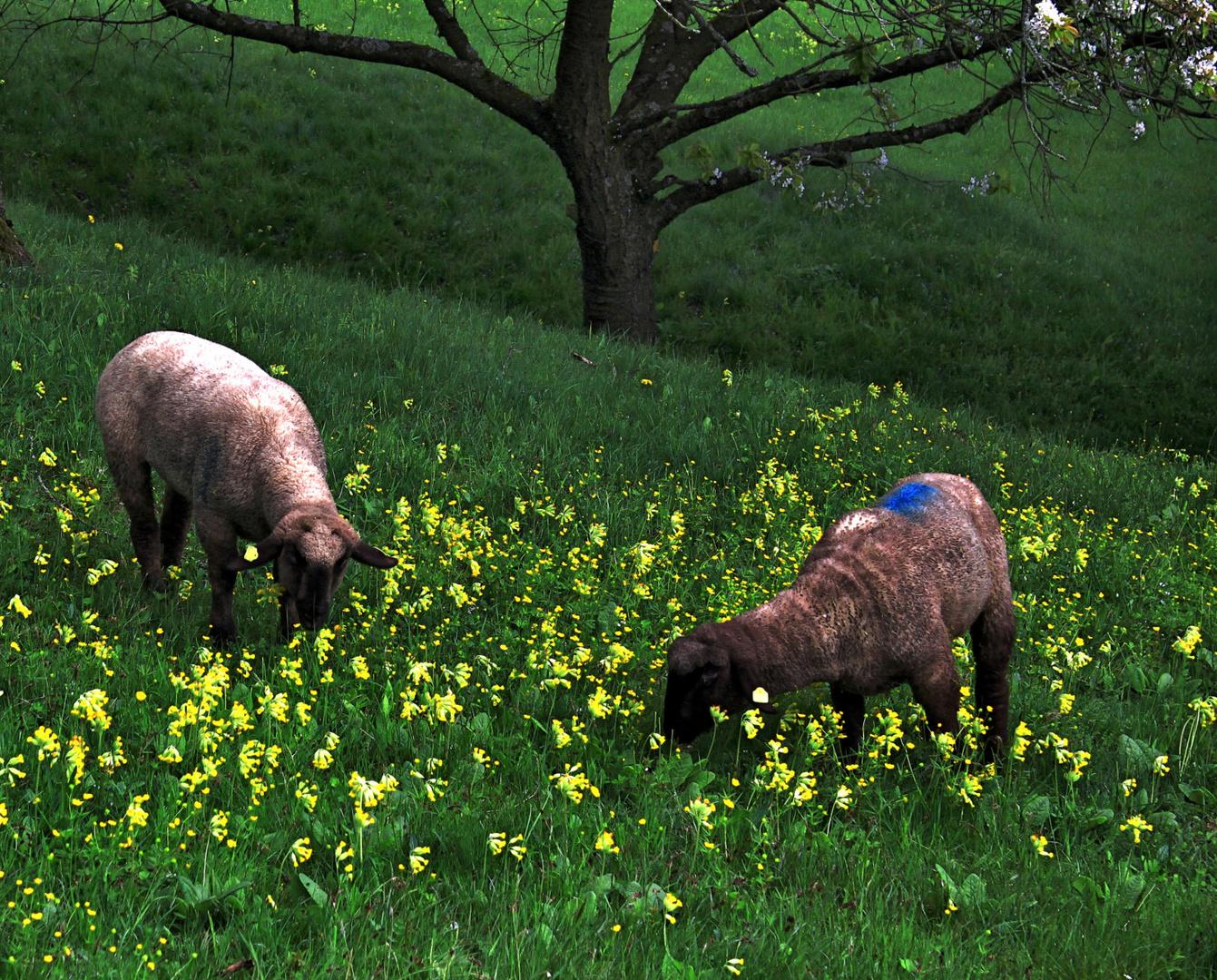-Schaflämmchen -
