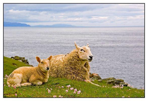 Schafparadies am Strathy Point (Nord Schottland)