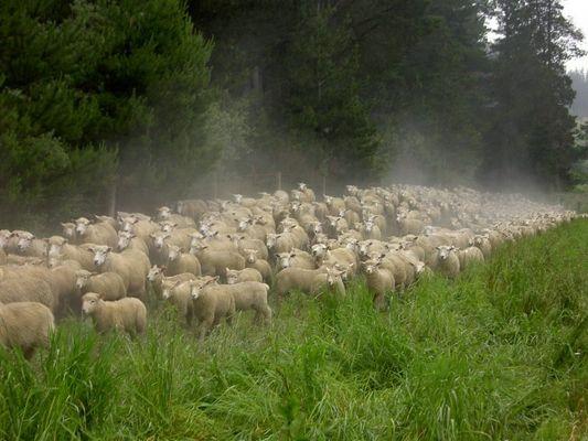 Schafs-Stampede