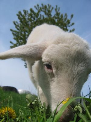 Schafsglück