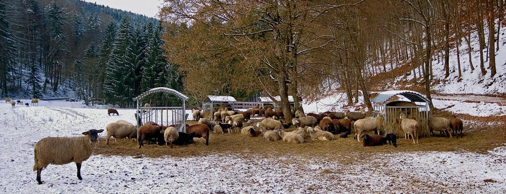 Schafsherde beim Stift Rein