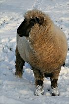 Schafskälte...