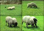 Schafsköppe