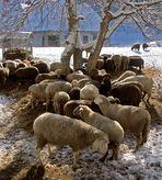 Schafsversammlung an der Futterstelle