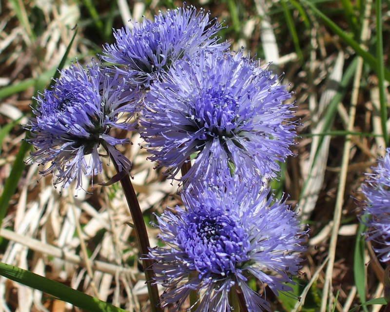 Schaft-Kugelblume 'Globularia nudicaulis'