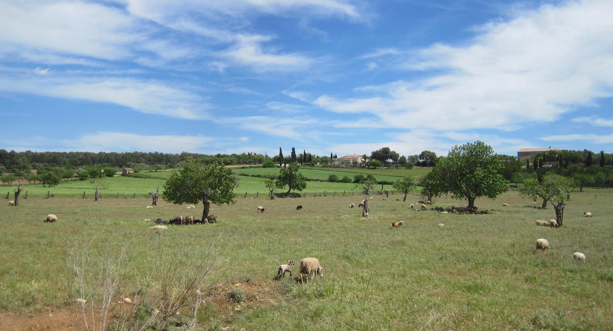 Schafwiese mit Lämmer die Ostern überlebt haben