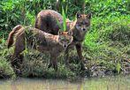 Schakale (Goldschakale) Canis aureus