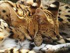 Schalfendes Serval-Pärchen