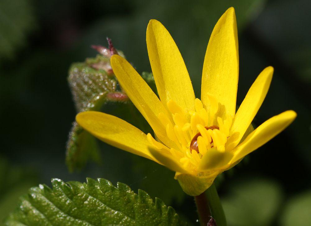 Scharbockskraut Ranunculus ficaria) mit Besucher...