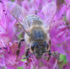 Scharfe Biene