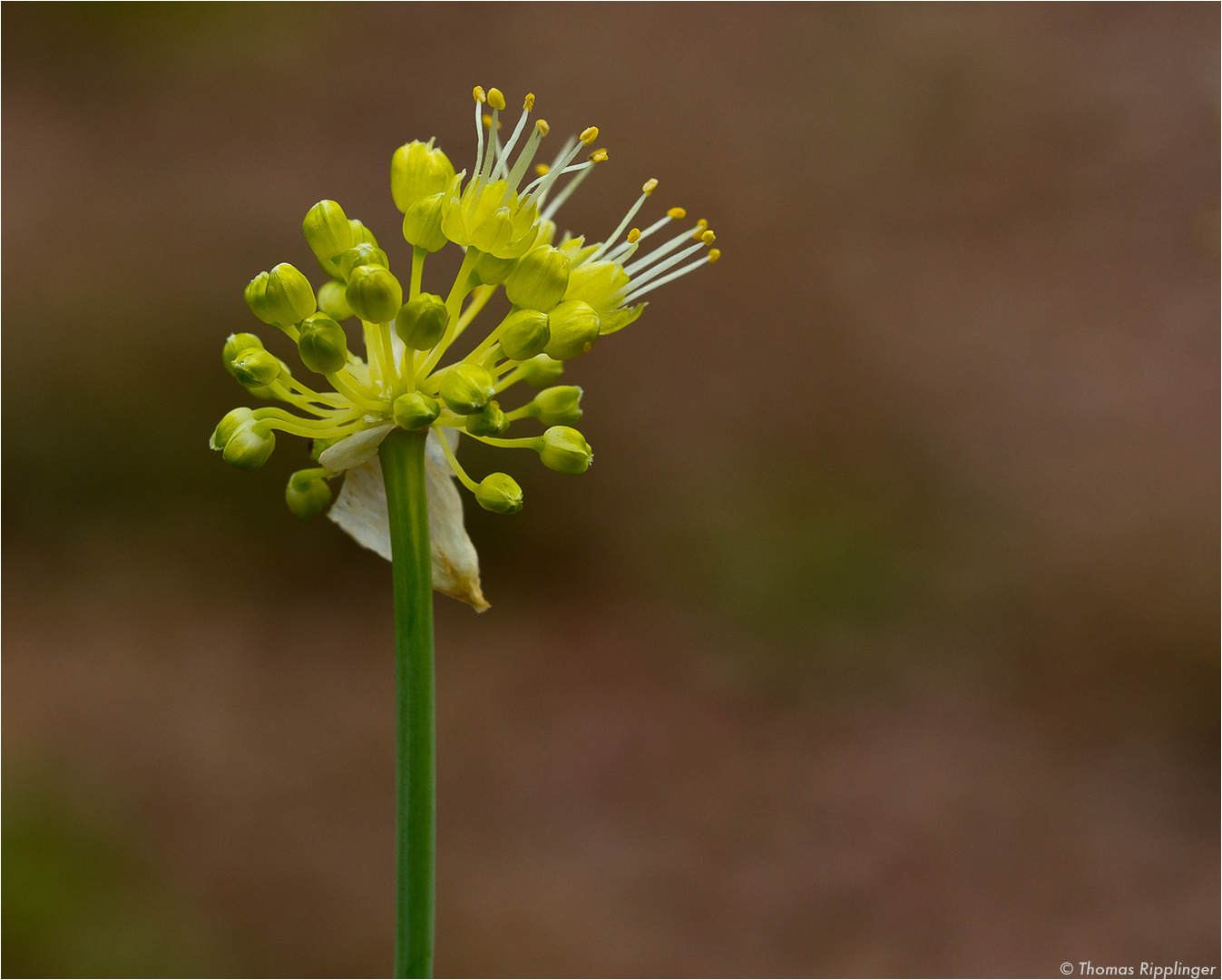 Scharfer Gelblauch (Allium obliquum).