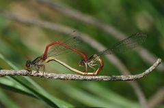 Scharlachlibelle - Ceriagrion tenellum
