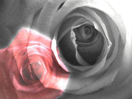 Schatten der Rose