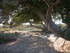 Schatten im Olivenbaum
