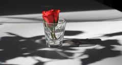 Schatten / Rose