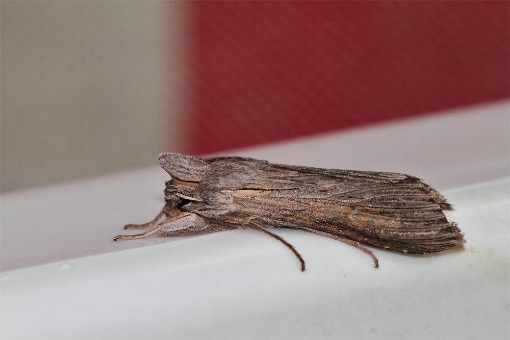 Schattenmönch (Cucullia umbratica)