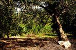 Schattenplätze in alten Gärten in Dalmatien