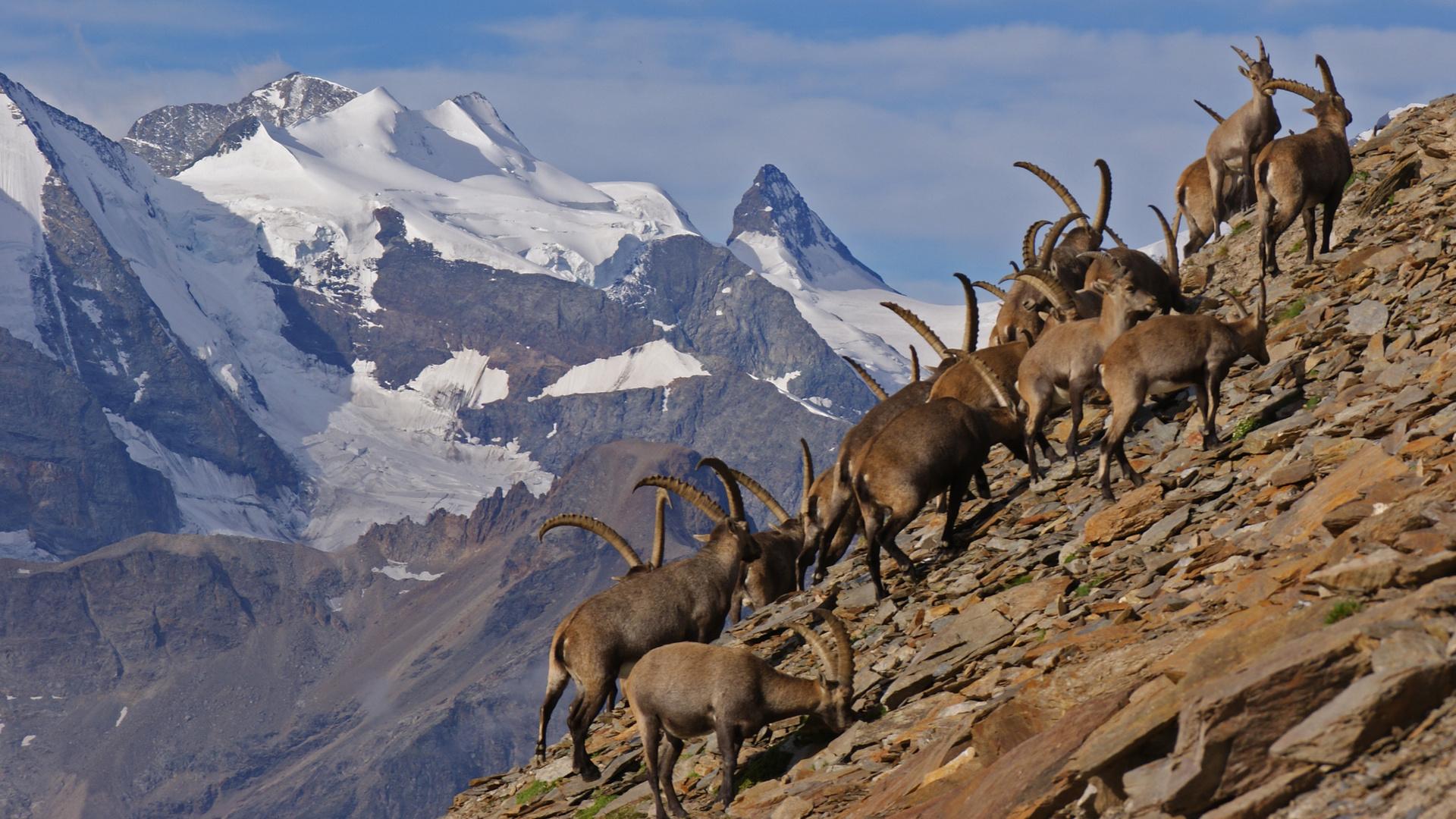 Schaulaufen der Schönheiten - Steinböcke vor dem Bernina Massiv