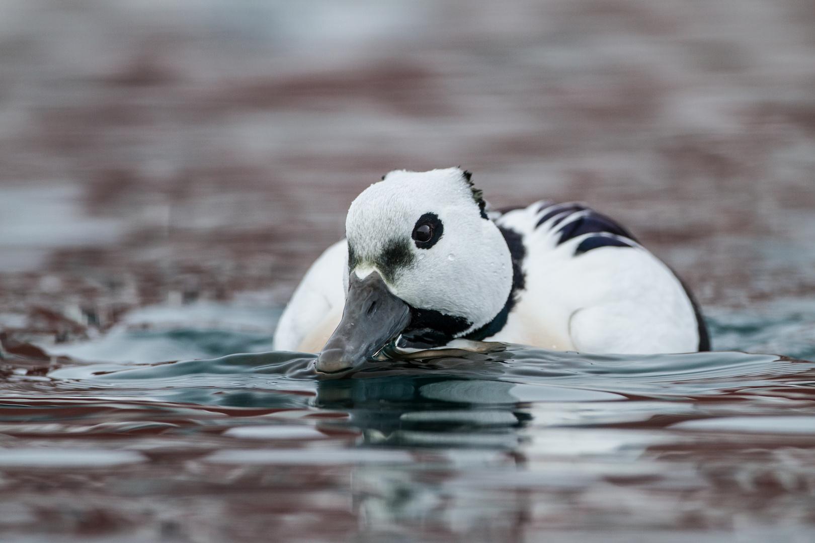 Scheckente im Polarmeer