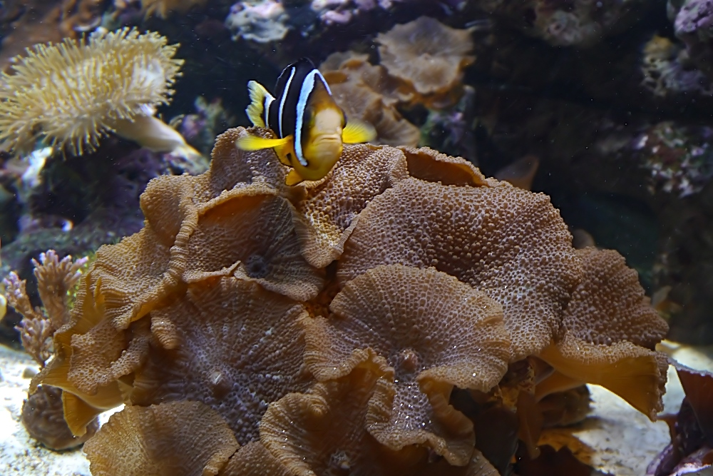 Scheiben- Anemonen oder Unterwasser-Pilze ;-)