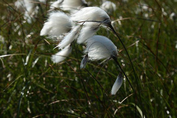Scheiden-Wollgras - Eriophorum vaginatum