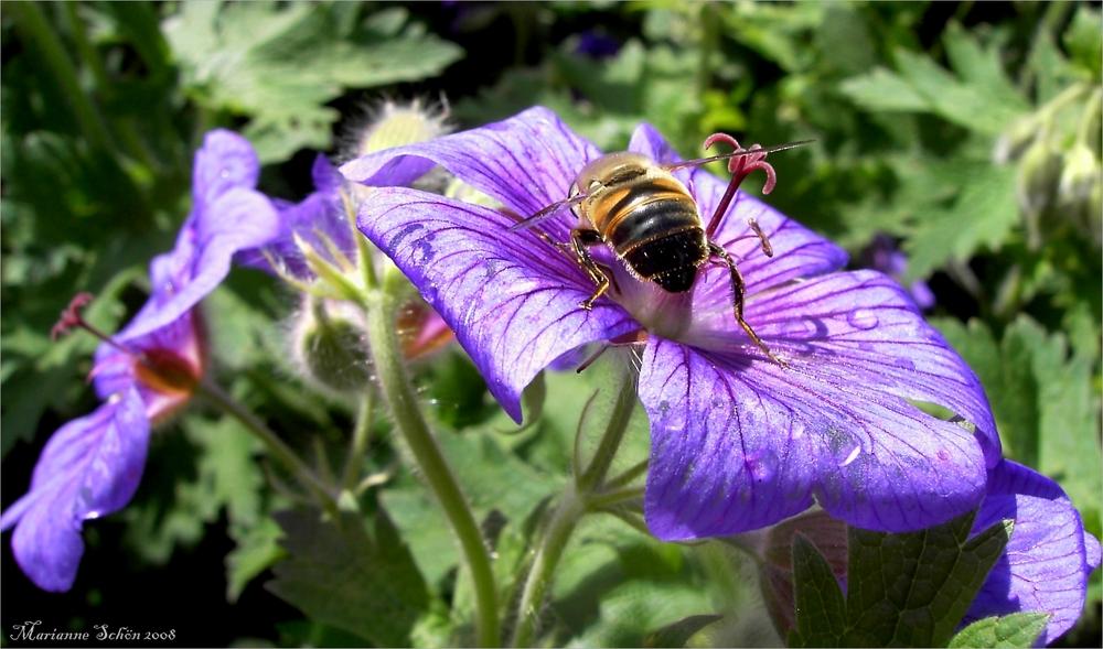 Scheinbiene auf Nahrungssuche