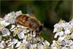 Scheinbienen-Keilfleckschwebfliege ( Eristalis tenax)