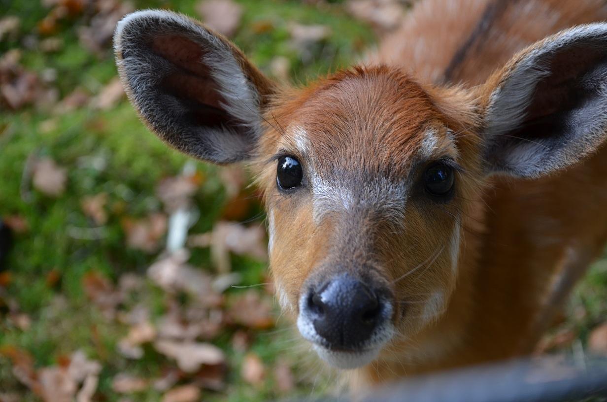 Scheue Antilope?