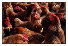 Schicke Chicks