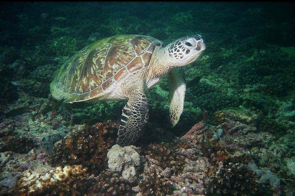 Schidkröte beim nickerchen