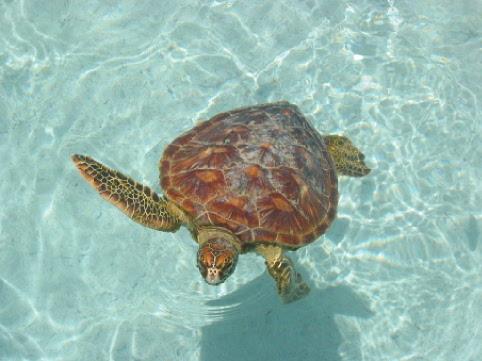 Schidkröte im Lagoonarium auf Bora Bora