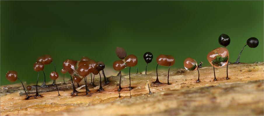 Schiefergraues Fadenkügelchen (Comatricha nigra)