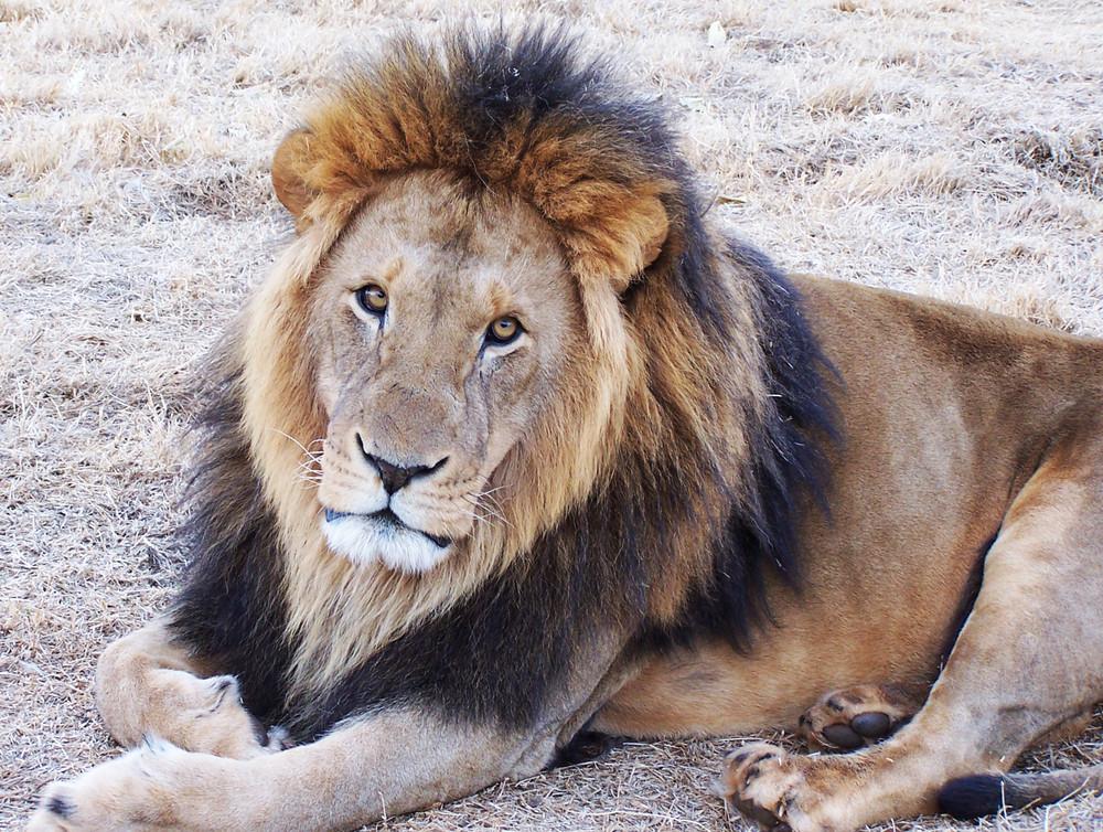 Schielen etwa alle Löwen?!