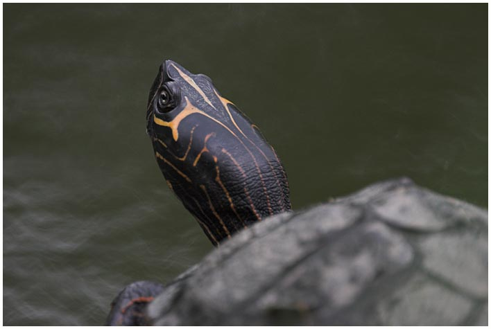 Schildkröte ....